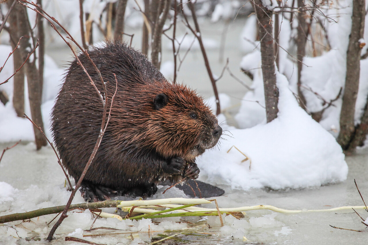 """BEAVER 2786<br /> <br /> """"Beaver on the ice""""<br /> <br /> Grand Portage, MN"""