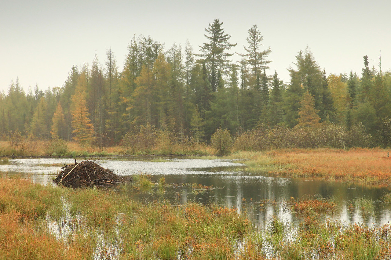 """BEAVER 2735<br /> <br /> """"Autumn Beaver Swamp""""<br /> <br /> Cook County, MN"""