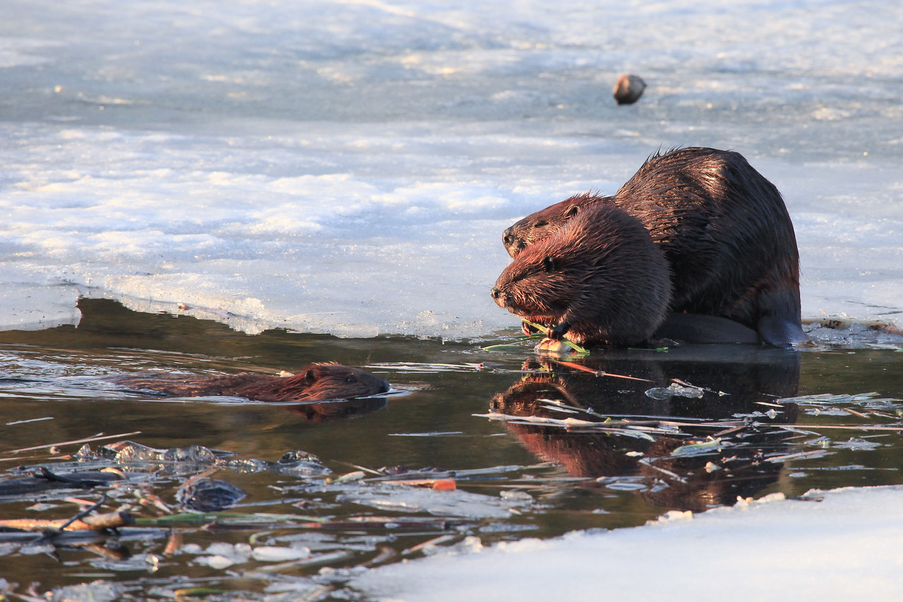 """BEAVER 2464<br /> <br /> """"Beavers on the ice""""<br /> <br /> Grand Portage, MN"""