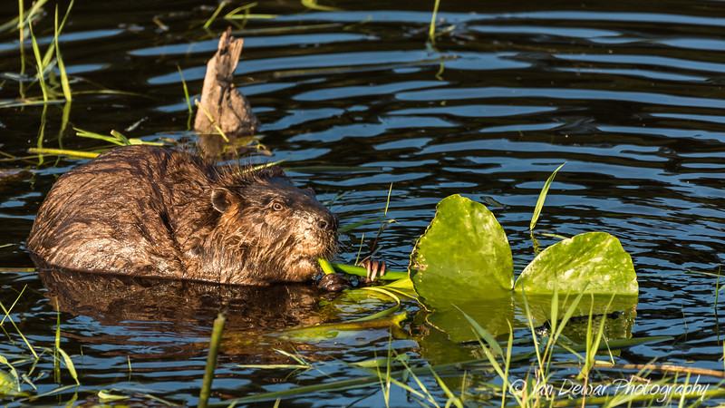 Beaver and the Lily
