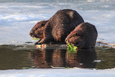 "BEAVER 2457  ""Beavers on the ice""  Grand Portage, MN"