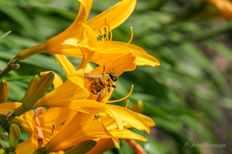 Bee - on daylily