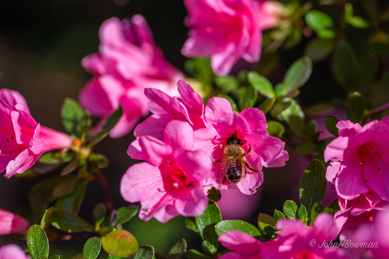 Pink azaleas, E side of patio in out back yard, with bee
