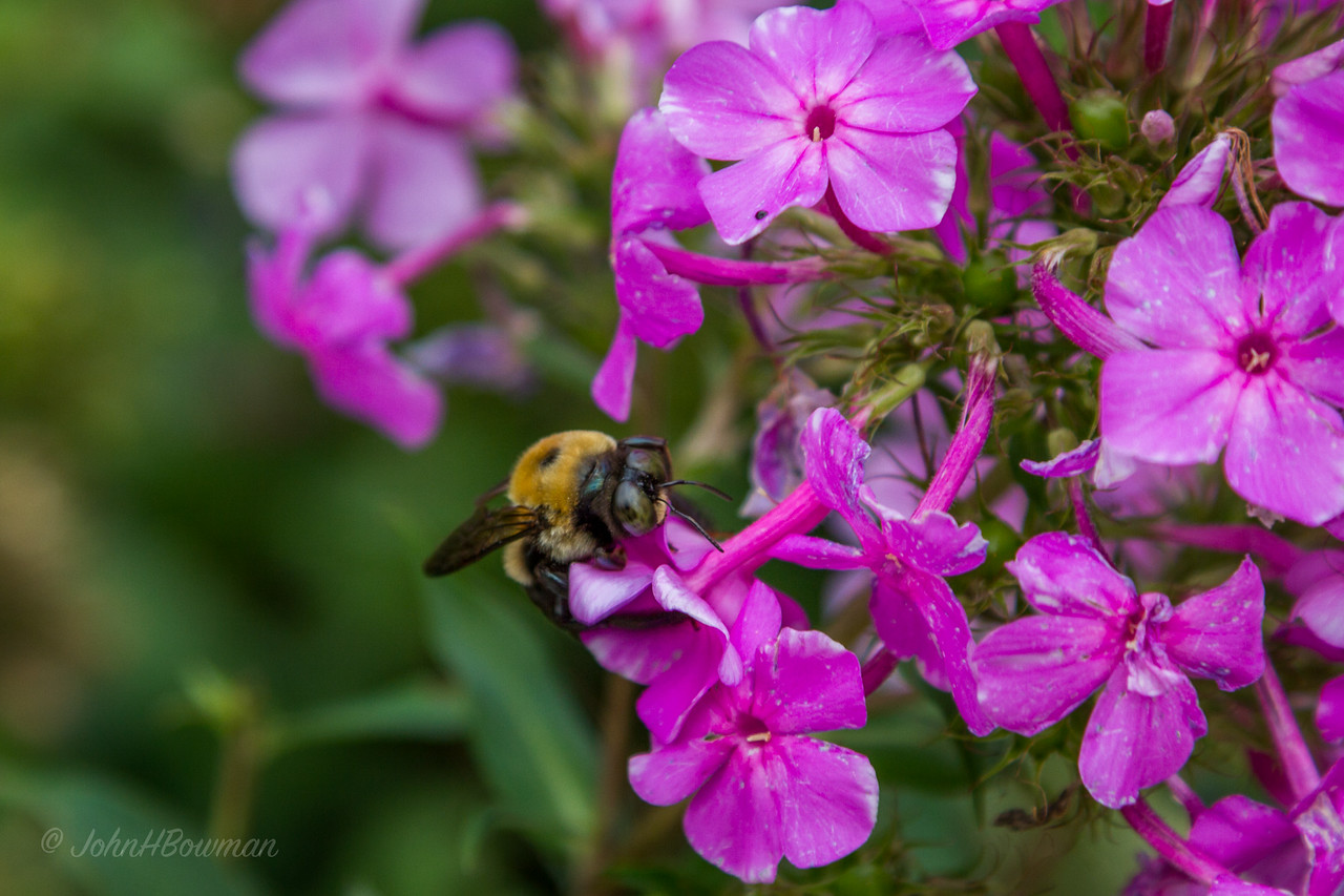 Bee - on phlox