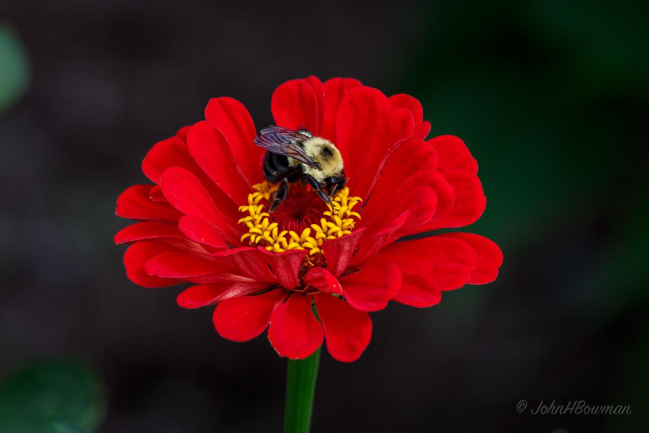 Bee - on zinnia