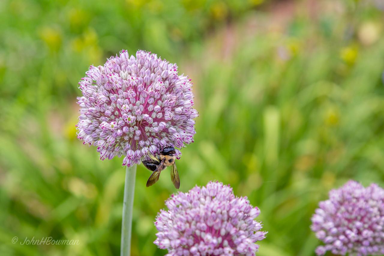 Bee - on allium