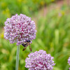 Bee - on allium