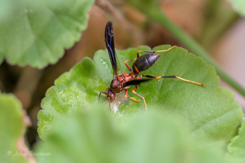 Hornet - on geranium leaf