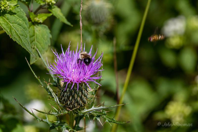 Bee - on thistle