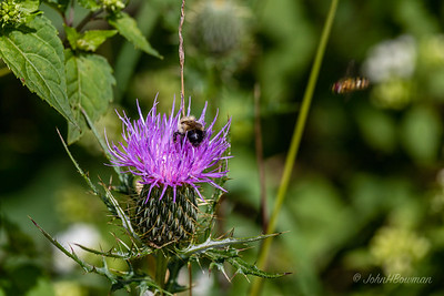 Bee - on thistle