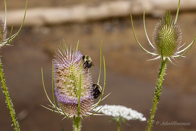 Bees - on teasel