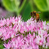 Bee - on sedum