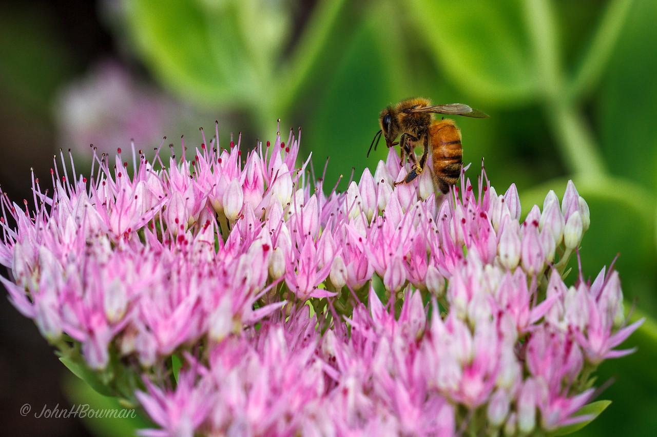Bee - on sedum