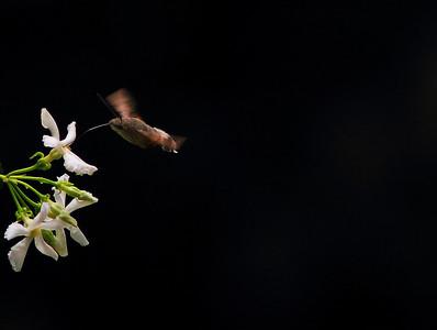 Kuş değil, böcek değil... Garip bir yaratık... Ama bal ediği hortumu şaşırtıcı derecede uzun...