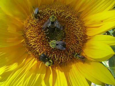 Bees love sunflowers.  Notice the different kinds of bees