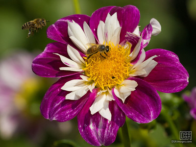 Bees on the Dahlias