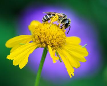 Pollinator Bee on Flower
