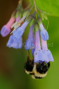 Bumble Bee on Virginia Bluebell - 4/29/07