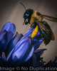 Bee Here Now - July 2013<br /> (4x5)<br /> Best Reproduction - No Larger Than 16x20
