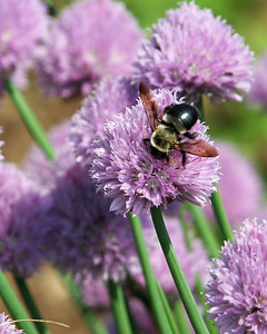 Bee on purple flower.  One of my first 10 digital images.