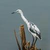 Little Blue Heron (juvenile)