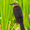 Boat-Tail Grackle (female)