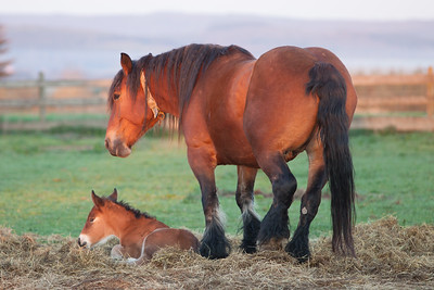 Belgium Horses-17