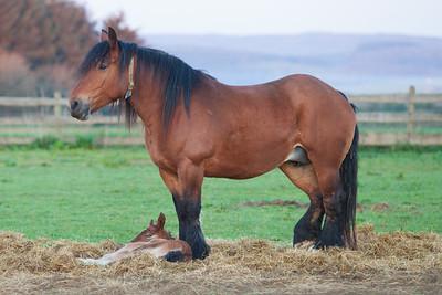 Belgium Horses-4