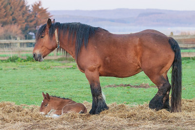 Belgium Horses-6