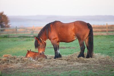 Belgium Horses-19