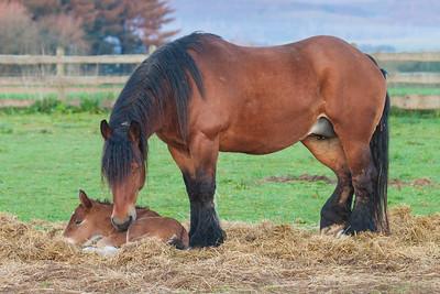 Belgium Horses-1