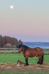 Belgium Horses-3