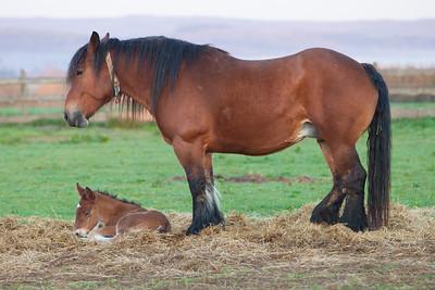 Belgium Horses-9