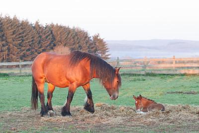 Belgium Horses-16