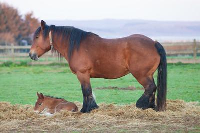 Belgium Horses-7