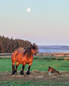 Belgium Horses-15