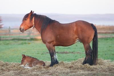 Belgium Horses-12