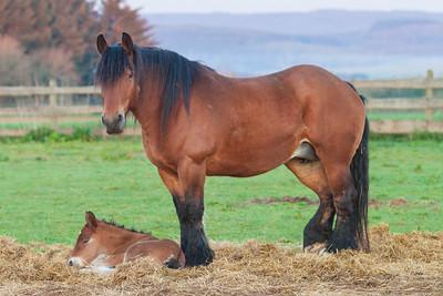 Belgium Horses-2