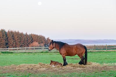 Belgium Horses-8