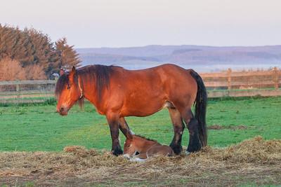 Belgium Horses-13