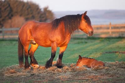 Belgium Horses-22