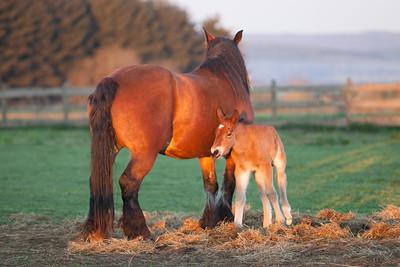 Belgium Horses-24