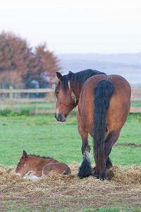 Belgium Horses-5