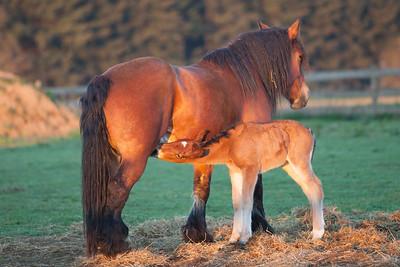 Belgium Horses-27