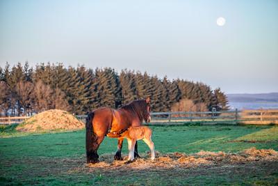 Belgium Horses-28