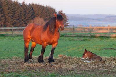 Belgium Horses-14
