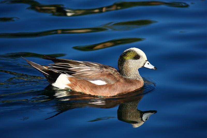Mr. Duck