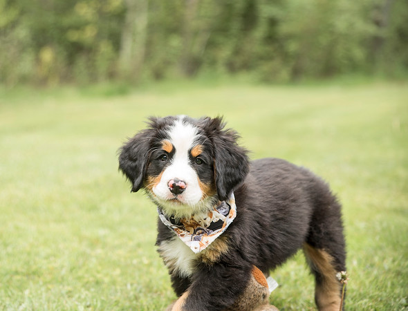 Bernese Puppies - 2018