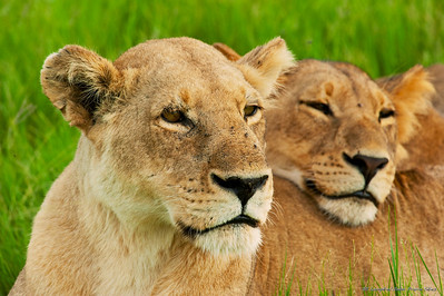 Pride Female Lion with subadult