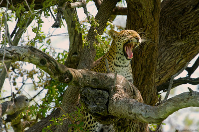 Leopard Shows Some Teeth